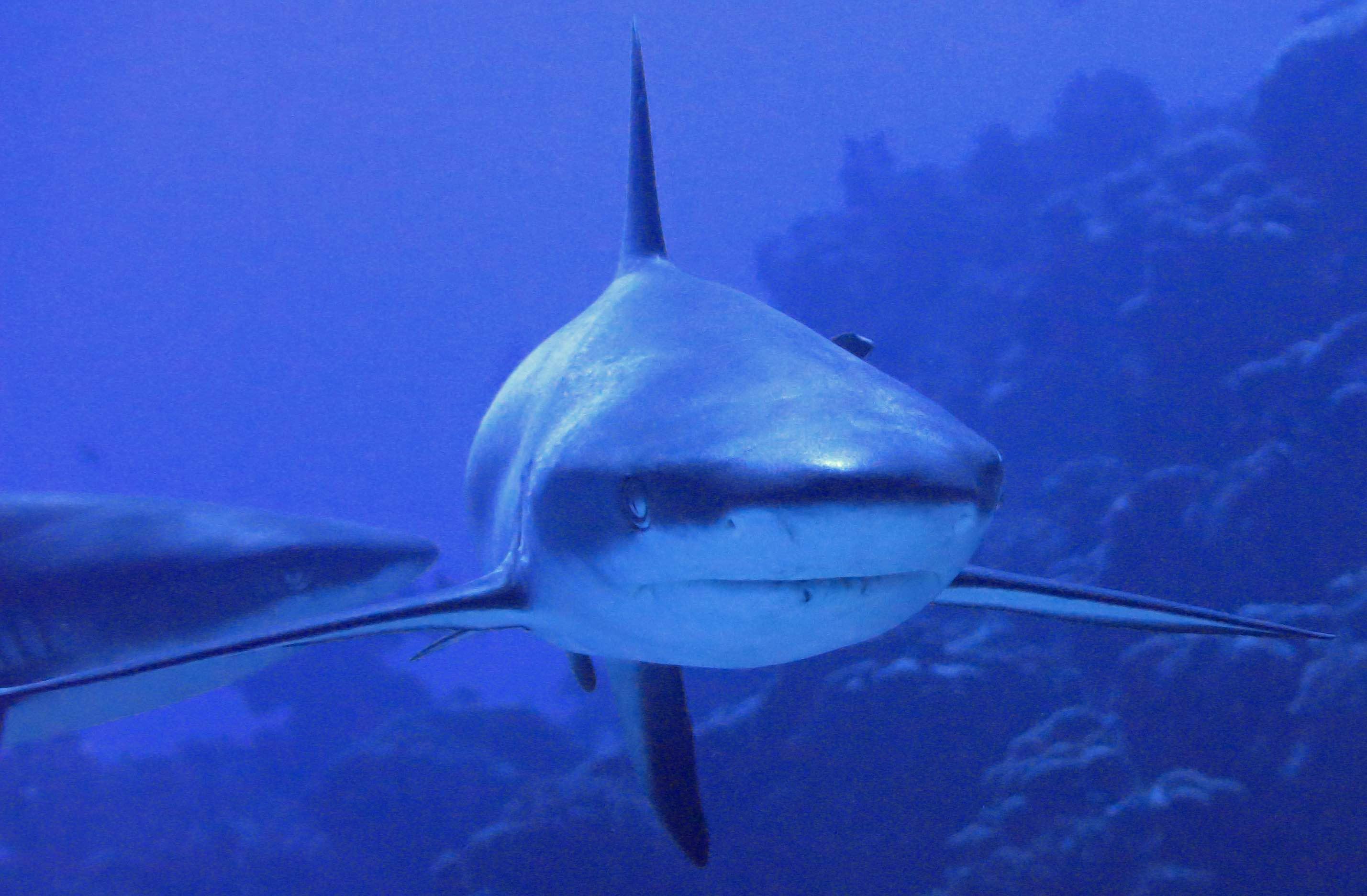 Fakarava Sharksmall